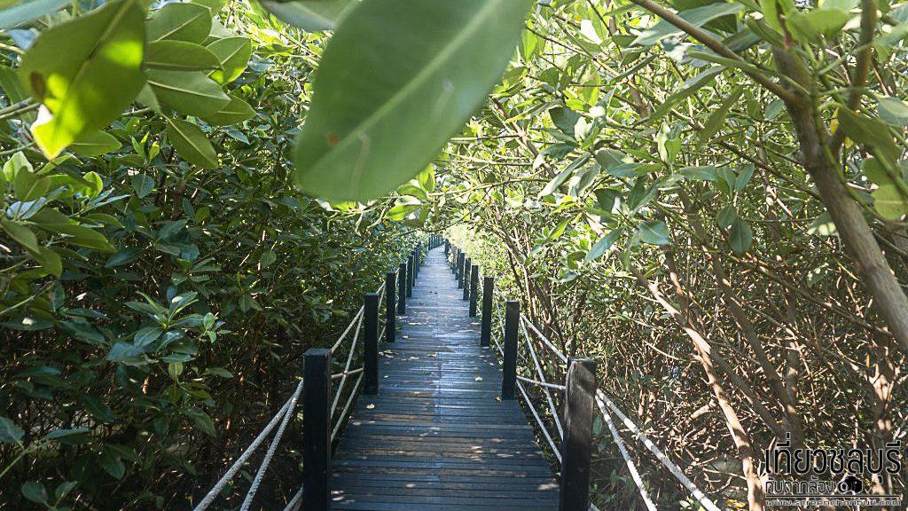 ป่าชายเลนชลบุรี เดินเล่นชมธรรมชาติสวยๆที่ชลบุรี