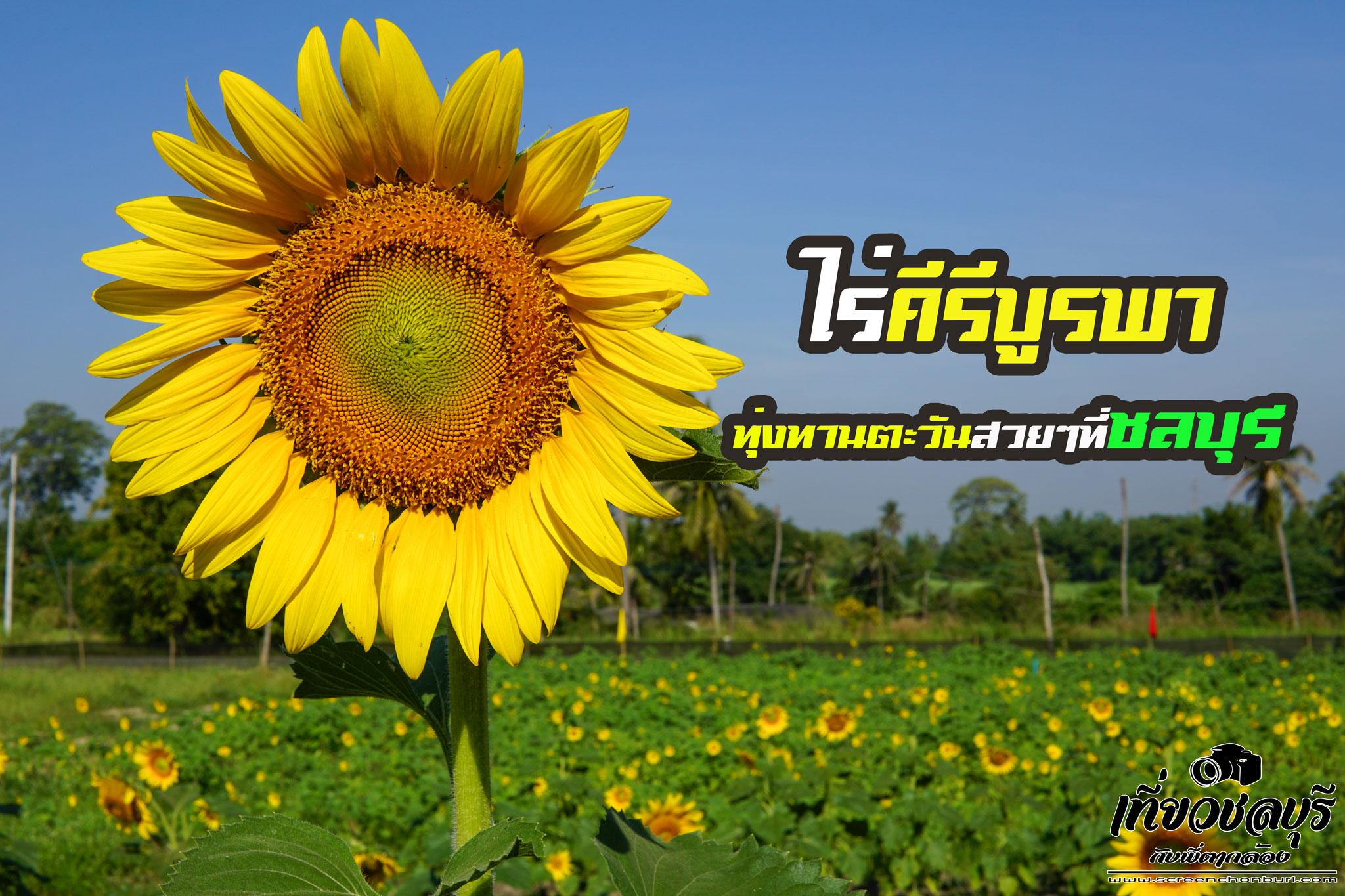 ไร่คีรีบูรพา-ทุ่งทานตะวันสวยๆที่ชลบุรี